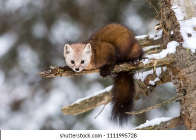 Pine Marten on a branch in winter in Ontario, Canada