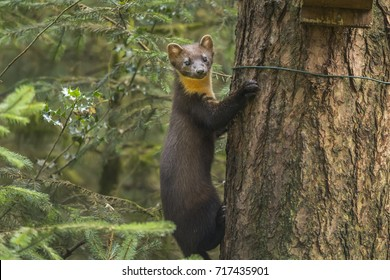 Pine marten on the side of a tree