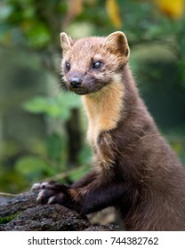 A pine marten with its paws resting on a falled log.
