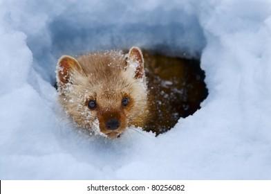 Pine marten in snow bank