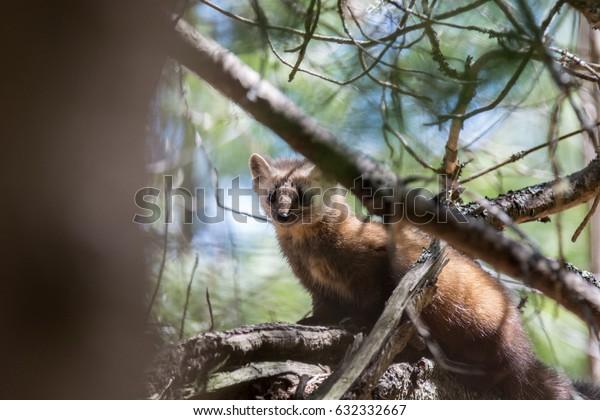Pine Marten In A Tree