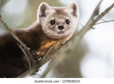 Pine marten in the wild