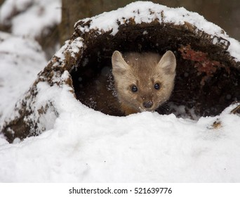 Pine martin hiding in hollow log in snow during winter