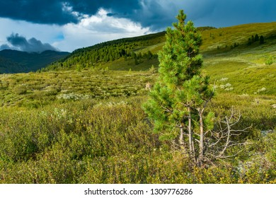 Pine in mountains, Altai, Siberia, Russia