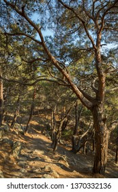 Pine in the mountains of the Crimea with the winding curves of the barrel. Nature