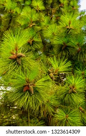 Pine needles background