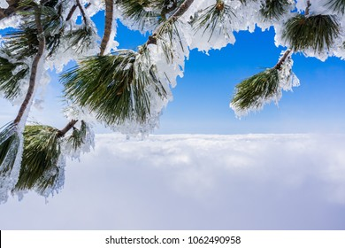 Pine needles and branches covered in ice; sea of clouds and blue sky in the background; Mount San Antonio (Mt Baldy), California