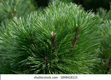 Pine needles close up in botanical garden