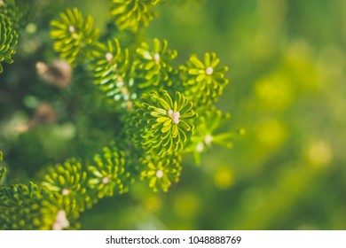 Pine needles in close up. Evergreen nature with shallow depth of field. Pine blossoms in sunlight.