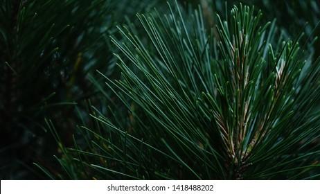 pine needles macro closeup in forest on dark green background in summer