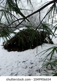 pine needles on a snowy winter day
