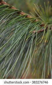 Pine Needles Portrait
