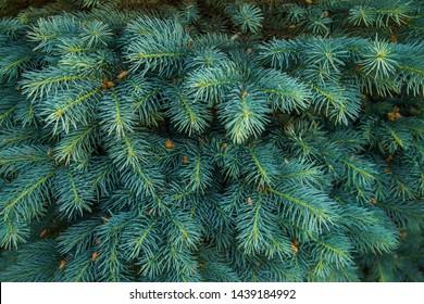 pine needles texture, mountain spruce, silver spruce, Engelman Spruce, pine needles, blue, beauty, cone, beautiful, twig, garden, holiday, decor, new, forest, seasonal, tree, up, Christmas, macro, bac