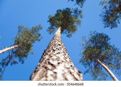 Pine on a background of blue sky.