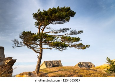 Pine on Baltic sea coast in abandoned military fortifications, Liepaja, Latvia.
