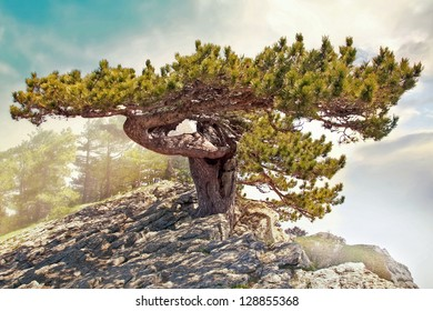 Pine on the cliff