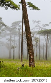 Pine on mountain with fog at Phu Soi Dao National Park, Uttaradit, Thailand