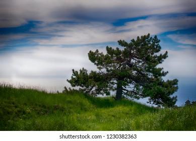 Pine on the slope of the Crimean mountains. Ai-Petri, Crimea