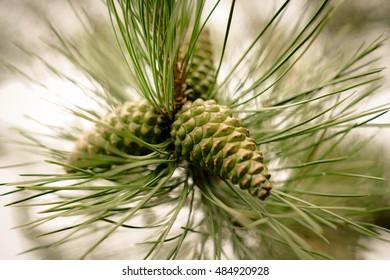 Pine on the tree.