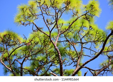 pine plant with green needle shape leaves