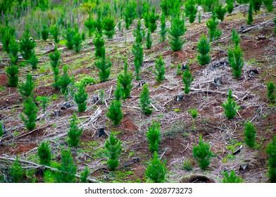 Pine Plantation for Industrial Harvest