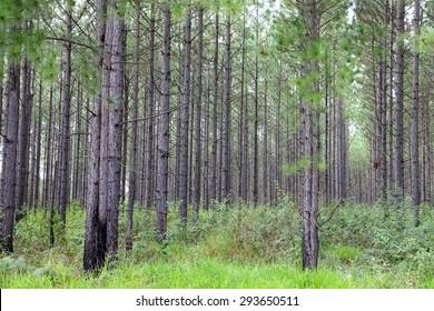 Pine Plantation, Queensland Australia