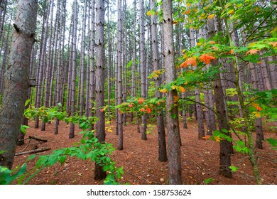 Pine plantation within Sleeping Bear Dunes National Lakeshore grows tall and straight. A soft bed of pine needles line the forest floor as splashes of color dot the foliage along Pierce Stocking Drive