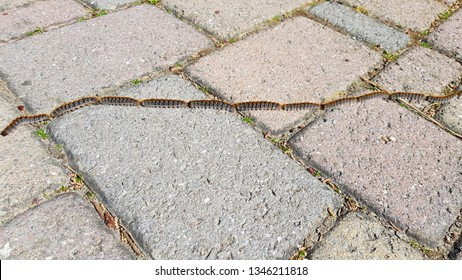 Pine processionary larvae marching in characteristic fashion. It is one of the most destructive species to pines and cedars in Central Asia, North Africa and the countries of southern Europe