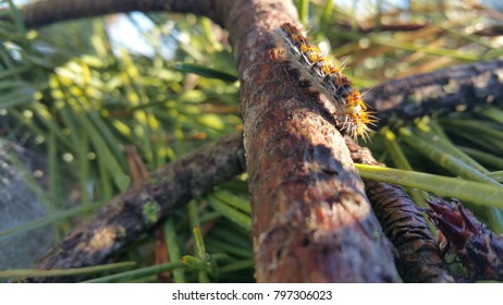 Pine processionary moth caterpillar on pine tree branches