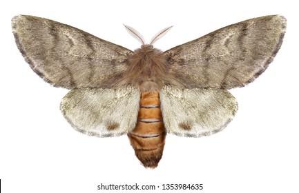 Pine processionary moth, Thaumetopoea wilkinsoni (Lepidoptera: Thaumetopoeidae). Isolated on a white background
