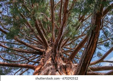 Pine, Queenstown Gardens, Queenstown, Central Otago, New Zealand