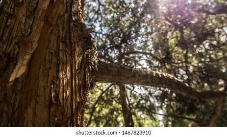 Pine scotch fir tree close up in coniferous forest in summer sun light