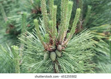 Pine and seed .Pine tree