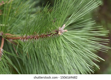 Pine shoots / Pine is a tree that Japanese people have lived with since ancient times, and has played a leading role in scenic spots throughout Japan.