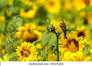 Pine Siskin (Carduelis pinus) perched on Yellow sunflower.