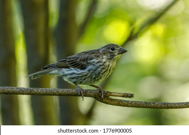 Pine Siskin on branch with blurred colorful background