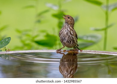 Pine Siskin perched on bird bath with colorful background