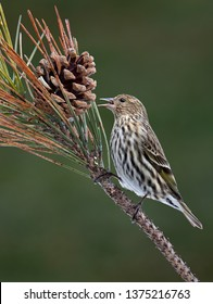 A Pine Siskin is perched on a pine branch and is snacking on the pine cone.