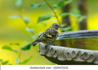 Pine Siskin perched on the edge of a birdbath after drinking water from it
