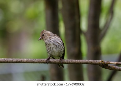 Pine Siskin perched on a twig with blurred background