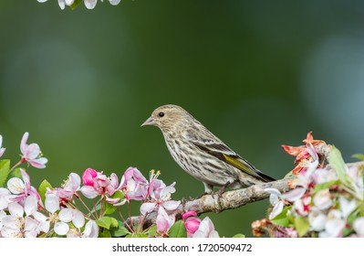 """A Pine siskin """" Spinus pinus """" perches on a branch of a flowering cherry tree."""