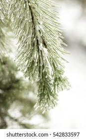 Pine in the snow. Icy pine. Spruce in the snow. Esl icy. Bitter cold. Frost in the Epiphany celebrations.