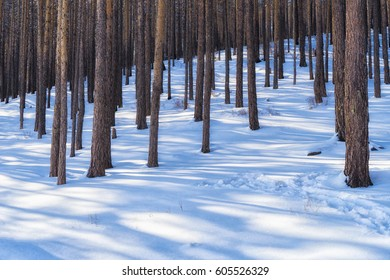 Pine snowy forest covered with snow in winter