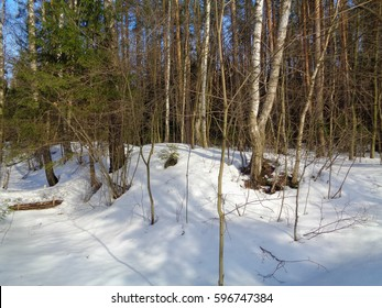 Pine, Spruce and Birch mixed forest in winter on a blue sky background. Sunny day in the woods of Russia. Flora and wild authentic nature of Eastern Europe