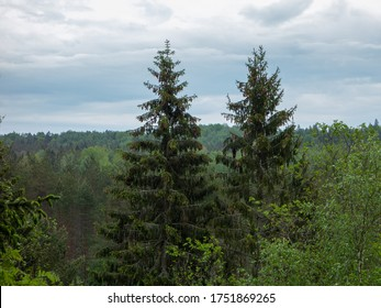 Pine / spruce forest. Pine with cones in trees. Wild forest.