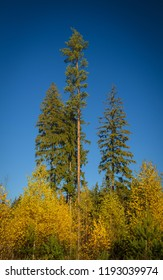 pine and spruces rising over the young golden birches