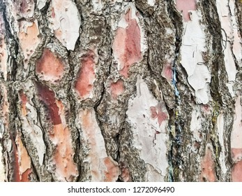 Pine tree bark cork background and texture