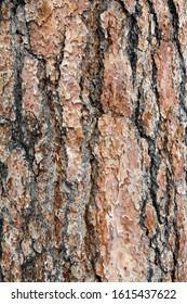 Pine tree bark for a texture or background