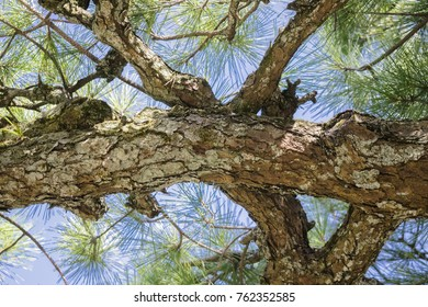 Pine tree bark texture background in traditional Japanese park in Kyoto, Japan, illustrating cleanliness, nature and environment.