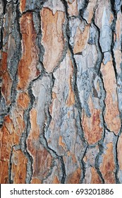 Pine tree bark texture close-up